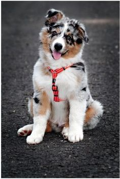 After some selective crossbreeding with English imports like the Border Collie, the Australian Shepherd breed as we know it today was created. Australian Shepherd Puppies: Pictures And Facts Source by [& Super Cute Puppies, Cute Baby Dogs, Cute Dogs And Puppies, Pet Dogs, Doggies, Pets, Australian Shepherd Puppies, Aussie Puppies, Blue Merle Australian Shepherd