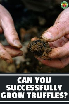 Truffles are a commitment that takes years to come to fruition. We explain the complicated method of how to grow truffles and their trees. Growing Truffles, Hazelnut Tree, Truffle Hunting, White Truffle, Harvest Season, Tree Roots, Gardening Tips, Lime, Trees