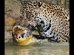 Jaguars are extremely rare and it is said that there are only ...