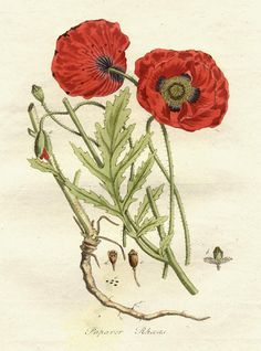 "Papaver rhoeas (common names include corn poppy, corn rose, field poppy, Flanders poppy, red poppy, red weed, coquelicot, and, due to its odour, which is said to cause them, asheadache and headwark) is a species of flowering plant in the poppy family, Papaveraceae. This poppy, a native of Europe, is notable as an agricultural weed (hence the ""corn"" and ""field"") and as a symbol of fallen soldiers.  (via Papaveraceae - Papaver rhoeas.)"