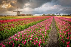 Tulips (Alkmaar, Amsterdam) by Francesco Riccardo Iacomino on Nature Pictures, Travel Pictures, Tulip Fields, Natural World, Windmill, Great Places, Beautiful Flowers, Travel Inspiration, Tourism