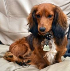 My favorite doggie- Long Haired Mini Dachshund