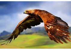 Hawk symbolism making itself known to you can be a sign of tapping into your inner talons that hold extraordinarily power, this can be a sign for you to go after and  tear into what you want with the spirit of the Hawk.