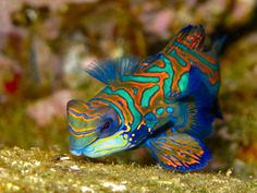 The elusive, impossibly beautiful Mandarinfish. Every diver's dream.