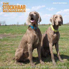 There's the Shorthair (SH) Weimaraner, the Longhair (LH) Weimaraner, and then there's those in-between… You can't breed for them, but rarely, a breeding of a SH to a LH will produce what is called Stockhaar. http://justweimaraners.com/stockhaar-weimaraner/