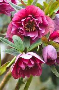 Hellebore nursery in Ulriksdal, Sweden. Luscious pink - more lusciousness at www.myLusciousLife.com
