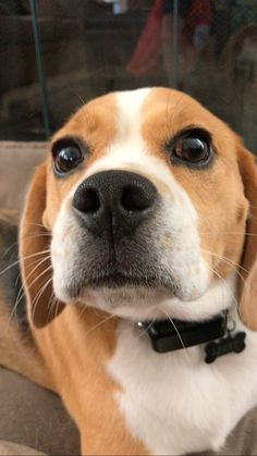the #beagle face
