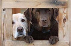 Labrador Retrievers #labradorretriever