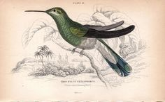 1833 Hummingbird print Antique Print Hand Colored Engraving Violet Tufted Hummingbird print Jardine