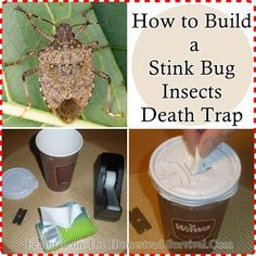 The Homestead Survival | How to Build a Stink Bug Insects Death Trap | Gardening Pests http://thehomesteadsurvival.com