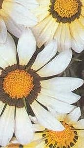 Pase Seeds - Gazania Daybreak Series White Annual Seeds, $3.99 (http://www.paseseeds.com/gazania-daybreak-series-white-annual-seeds/)