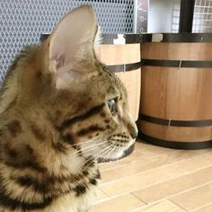 facial profile  #cat #catsofinstagram #cats #catstagram #instacat #catlover #catoftheday #bengal #bengalcat #oz #ねこ #猫 #ねこ部 #ねこすたぐらむ #猫部