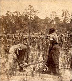 "SLAVES working rice field, circa 1855.  The buttery Carolina Gold rice that was the foundation of Charleston's wealth, may have been brought over on slave ships. Certainly the enormous number of slaves imported to work on rice plantations knew how to cultivate paddies, because they came from Africa's ""rice coast."" The grand lifestyle of Charleston and Savannah, was built ""on the backs of AFRICANS."