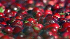 Experience the joys of harvest time as Wisconsin's oldest cranberry marsh is flooded and its fruit corralled.