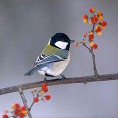 State of Maine Bird ♡ Chicadee