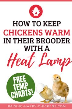 Having a reliable heat lamp to maintain the right temperature is one of the most critical issues for keeping new chicks healthy. Without it, they can very quickly become chilled and die. Until 11 weeks, we need to play the part of a mother hen and keep their temperature at the right level. Here's how. Backyard Coop, Backyard Chicken Coops, Chickens Backyard, Fancy Chicken Coop, Fancy Chickens, Baby Chicks, Helpful Hints, Play, Healthy