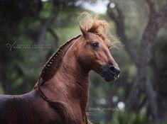 """Polubienia: 4,536, komentarze: 17 – Tilda Josefsson (@tiere_photography) na Instagramie: """"Lusitano stallion Gotan owned by @cfaivrehorseshow Photo taken during Equine Photography tour in…"""""""