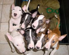 Box Of Bull Terrier Puppies Bull Terrier Funny, Mini Bull Terriers, English Bull Terriers, Terrier Breeds, Dog Breeds, Terrier Puppies, Baby Animals, Cute Animals, Bully Dog