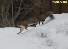 Orava Ferret, Fox, Animals, Pray, Animales, Animaux, Ferrets, Animal, Animais