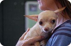 Richmond, IN - Chihuahua. Meet Betty, a dog for adoption. http://www.adoptapet.com/pet/11148271-richmond-indiana-chihuahua