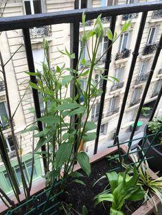 Croissance vertigineuse de ma #clématite 'Blue River' sur mon #balcon http://www.pariscotejardin.fr/2015/04/croissance-vertigineuse-de-ma-clematite-blue-river-sur-mon-balcon/