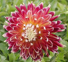 Dahlias - bought some bulbs to plant this season
