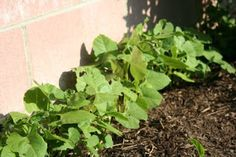 Our Organic Urban Garden: How To Get Rid Of Pill Bugs - The Research (How to get rid of roly-polies)