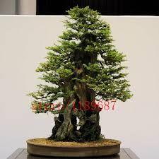 Resultado de imagen para bonsai de Cupressus macnabiana