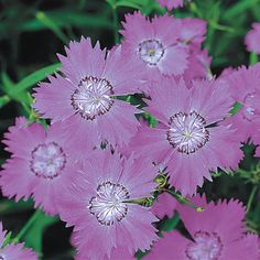 AMUR PINK 'SIBERIAN BLUES' (Dianthus amurensis): From the Amur River region of Siberia comes this Zones 3-8 hardy perennial dianthus, which blooms in the closest hue to blue of any plant in the carnation family. 1/2-1 inch lilac blossoms with paler circles at center grow in clusters on more or less upright green leaved stems. Mounding habit to about a foot high. Blooms all summer; shear back by about 1/3rd if bloom slows. For well-drained soils. Photo courtesy Park Seed Co.