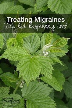 Treating Migraines With Red Raspberry Leaf | Migraines are no fun. When I suddenly began getting migraines, always around my period, a friend asked me if I'd been drinking red raspberry leaf tea. I hadn't! So I did an experiment. Could I use red raspberry leaf for migraines? I did -- and it worked! Here's how!