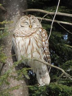 This beautiful Barred Owl was on this Pine Tree branch, with Hemlock branches all around, for over 7 hours in our New Hampshire backyard on a cold, February, Winter day in New England.