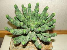 Rare Plants, Euphorbia, Planting Flowers, Pretty Plants, Plants, Succulents, Succulent Gardening, Cactus Plants, Unusual Plants