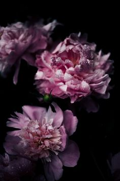 Peony Pictures | Dow