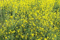 Wild Mustard Plants and Some of its Uses http://preparednessadvice.com/edible_plants/wild-mustard-plants-uses/#.U5ikE_ldViI
