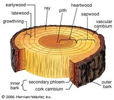 The Pipelines of The Tree.   Trees needCO2, water, sunlight, and nutrients.Three things affect these essential components in tree growth ...