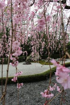 weeping cherry/ my book crease/ filled with petals (haiku by susan)