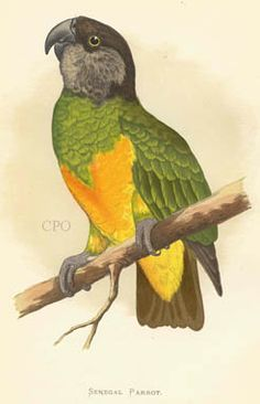 Senegal Parrot (Poeocephalus senegalus) from Parrots, Cockatoos & Macaws 1956 by Edward J. Looks like Kendi! Parrot Image, Senegal Parrot, Parrot Tattoo, Bird Artwork, Vintage Birds, Nature Prints, Cockatoo, Cute Animal Pictures, Beautiful Birds