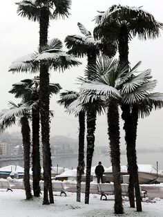 A man passes snow covered palm trees at lake Lungolago in Lugano, Switzerland, January 31. Photo: Karl Mathis/AP/Keystone)