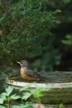 Birds eliminate garden pests | Benefits of a birdbath | Attract pest-eating birds to your yard | Birdbath maintenance tips
