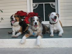Copper, Tacombee, & Aussie, my pups