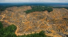 Borneo is home to one of the oldest rainforests in the world (130 million years). Unfortunately this forest is disappearing very fast. Since 1980 about half of the forest cover on the island has been destroyed.