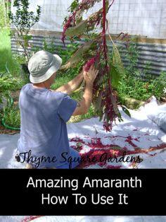 TSG: Amazing Amaranth And How To Use It