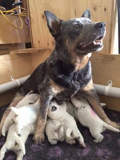 Help!! Reminds me of our Heidi we had, she was a small ACD and had 9 pups.