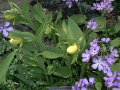 With its love of sharp drainage, yellow ladyslipper can be a great choice for rock gardens. Discover other options for rock garden plantings here: http://landscaping.about.com/od/waterfeaturerockgarden/tp/Rock-Garden-Plants.htm