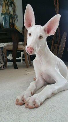 Malshi Puppies, Dog Paw Anatomy, - Dog Walking Jobs, Dogs And Puppies Breeds. Hound Puppies, Puppy Breeds, Dogs And Puppies, Doggies, Big Dogs, Cute Baby Animals, Animals And Pets, Funny Animals, Beautiful Dogs