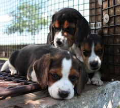 Beagles were within the United states of america by the 1840s in the newest, however the initial dogs were imported strictly for hunting and had been of variable quality.