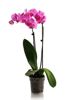 Orchids Phalaenopsis On Pinterest Orchids Orchid Care
