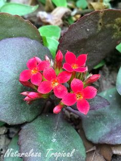 Flores de una planta del género Kalanchoe
