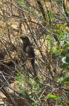 Cape Grassbird, Blade River Canyon, SA oct 7, 2016.IMG_2944