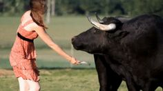 Fadjen, a rescued fighting bull, being brushed : gifs